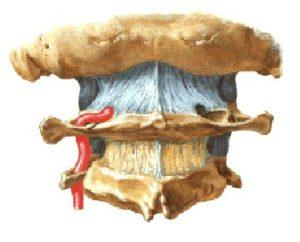 percorre i forami trasversari delle vertebre soprastanti, compreso quello dell'epistrofeoe dell'atlante, per poi ripiegare lateralmente e raggiungere la massa laterale dell'atlante, contornandola posteriormente, perfora la membrana atlo-occipitale posteriore, la dura madre e, passando tra l'arco posteriore dell'atlante e l'osso occipitale, penetra nella cavità cranica attraverso il foro occipitale.