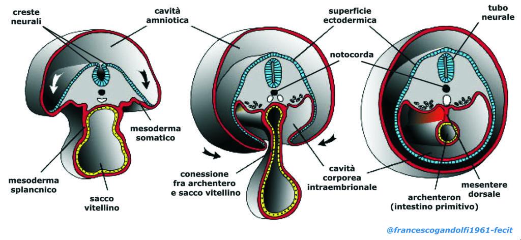 celoma intraembrionario - sviluppo intestino